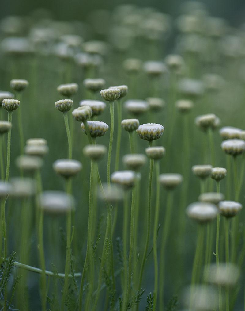 "Weisse Blumen namens ""Santolina Pinnata"""